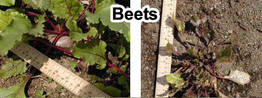Grow bigger beets with Grassoline Organic Fish Fertilizer