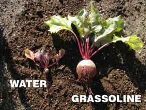 Grow healthier beets with Grassoline Organic Fish Fertilizer