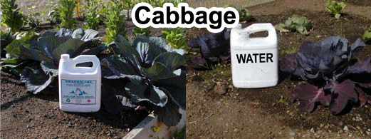 Grow bigger cabbage with Grassoline Organic Fish Fertilizer