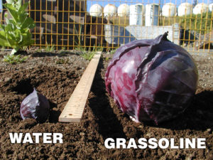 Grow healthier Cabbage with Grassoline Organic Fish Fertilizer