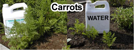 Grow bigger carrots with Grassoline Organic Fish Fertilizer