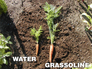Grow healthier Carrots with Grassoline Organic Fish Fertilizer
