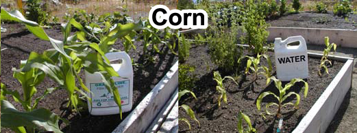 Grow bigger corn with Grassoline Organic Fish Fertilizer