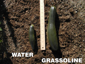 Grow healthier Cucumber with Grassoline Organic Fish Fertilizer