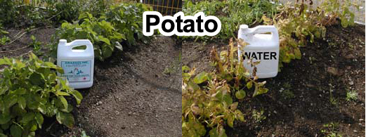Grow bigger potatoes onions with Grassoline Organic Fish Fertilizer