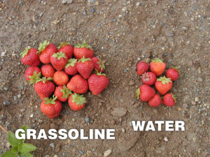 Grow healthier Strawberries with Grassoline Organic Fish Fertilizer