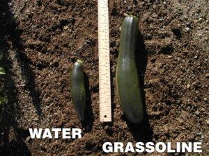 Grow healthier Cucumber with Grassoline Organic Fish Fertilizer