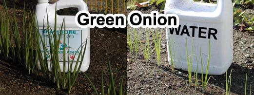 Grow bigger green onions with Grassoline Organic Fish Fertilizer