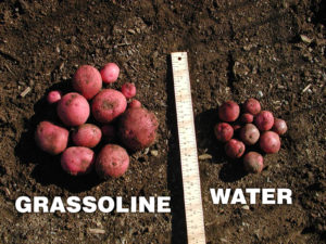 Grow healthier Potatoes with Grassoline Organic Fish Fertilizer