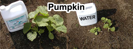 Grow bigger pumpkins onions with Grassoline Organic Fish Fertilizer