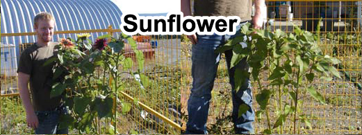 Grow bigger sunflowers onions with Grassoline Organic Fish Fertilizer