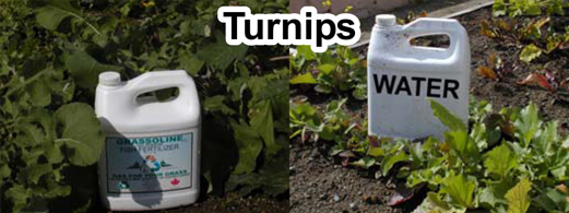 Grow bigger turnips with Grassoline Organic Fish Fertilizer