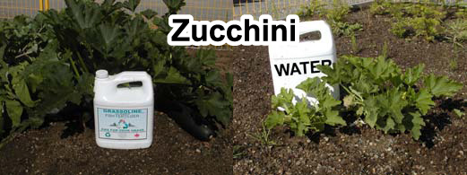 Grow bigger zucchini with Grassoline Organic Fish Fertilizer